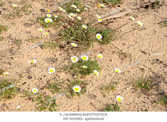 Hymenostemma pseudoanthemis is an annual herb endemic to Andalucia (Cadiz and Malaga provinces). Is a protected species included in Spanish Flora Red Book