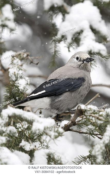 Clark's Nutcracker ( Nucifraga columbiana ) in winter, perched in a snow covered conifer tree, backside view, Yellowstone NP, Wyoming, USA