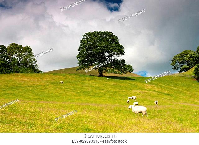 On the pasture in Sedbergh, Yorkshire Dales National Park, Cumbria, England