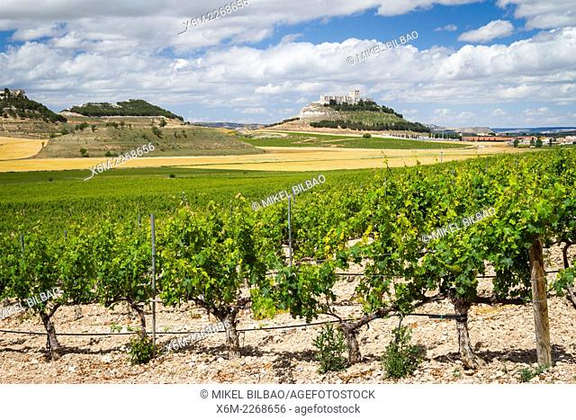 Vineyard. Peñafiel village. Ribera de Duero Wine region. Valladolid. Castile and Leon. Spain, Europe