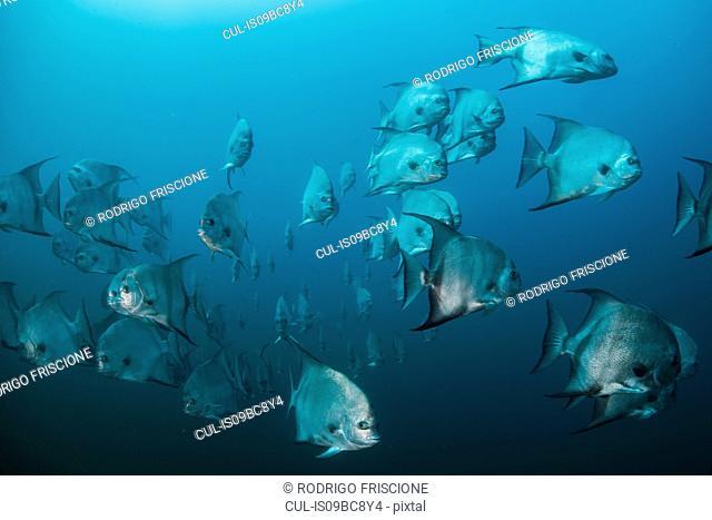 Underwater shot of schooling atlantic spade fish, Quintana Roo, Mexico