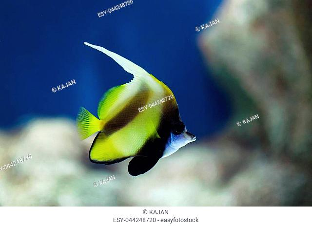 Bannerfish. Long finned bannerfish swimming underwater with a plain blue background