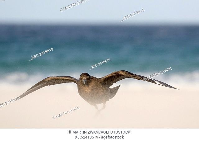 Falkland or Brown Skua or Subanarctic Skua (Stercorarius antarcticus, taxonomy in dispute). South America, Falkland Islands, January
