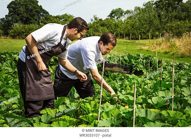Two men wearing aprons standing in a kitchen garden, picking vegetables
