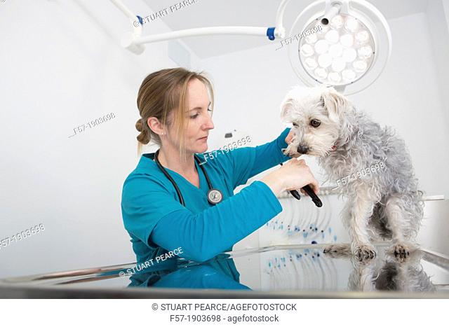 Veterinarian clipping the claws of a mixed-breed Poodle/Terrier in her surgery