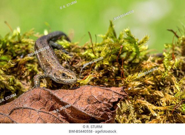 viviparous lizard, European common lizard (Lacerta vivipara, Zootoca vivipara), sitting on moss, Austria, Tyrol