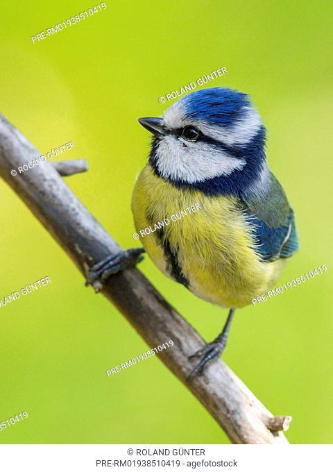 Blue Tit (Cyanistes caeruleus) sitting in apple tree / Blaumeise (Cyanistes caeruleus) sitzt in Apfelbaum
