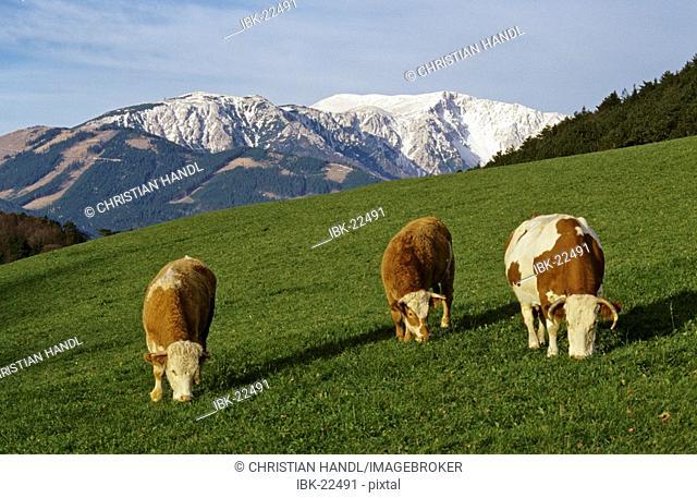 Grazing cows in front of mountain Schneeberg in Lower Austria Austria