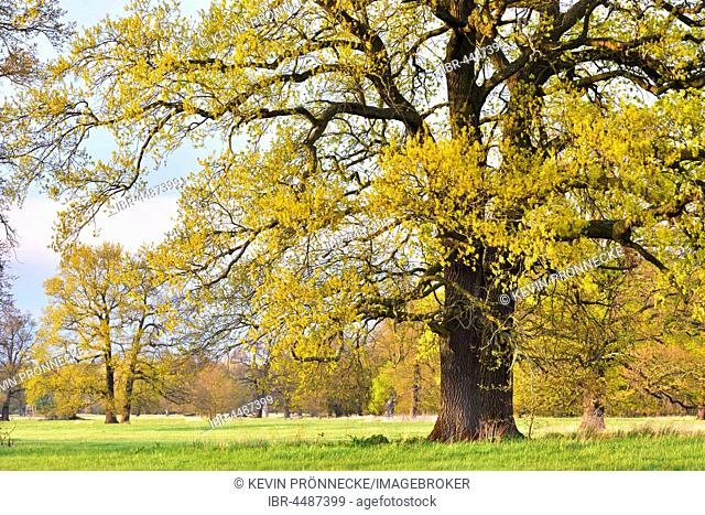 Solitary oak tree, English oak (Quercus robur) in spring, leaf shoots, Middle Elbe Biosphere Reserve, Saxony-Anhalt, Germany
