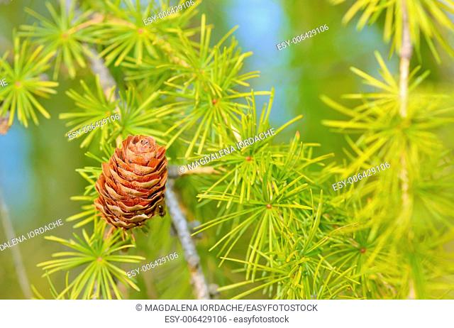Pine cones on branch, isolate