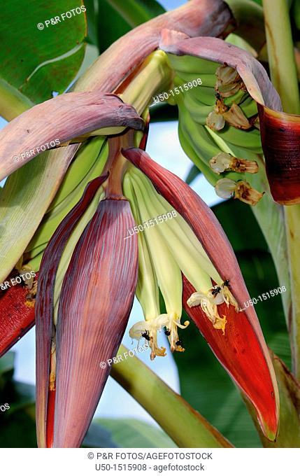 Banana in growing, Musa paradisiaca, Zingiberales  Rio Branco, AC, 2011