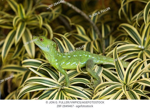 Plumed Basilisk, Green Basilisk, Double Crested Basilisk, Basiliscus plumifrons, always lives around water and can run on water or swim when threatened
