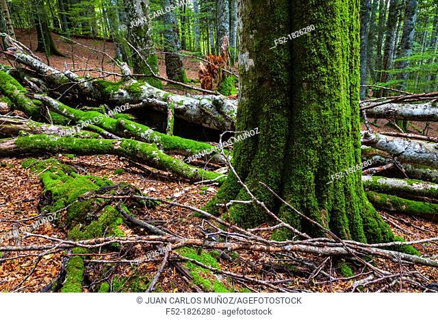 Integral Nature Reserve, Lizardoia, Selva de Irati, Navarra, Spain, Europe