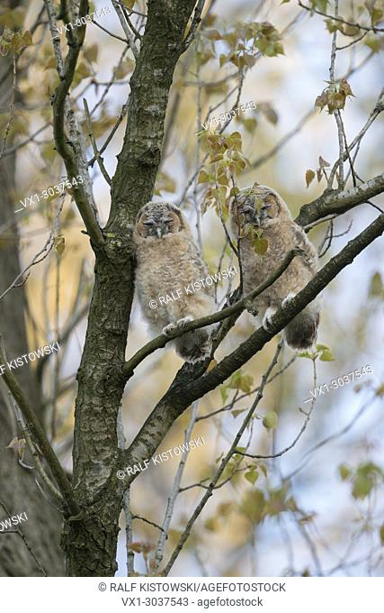 Tawny Owl / Owls ( Strix aluco ), two fledglings, perched high up in a tree, sleeps, daydreaming, wildlife, Europe