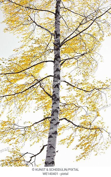 The autumn colored leaves of a birch tree are fluttering in the wind on a sunny morning