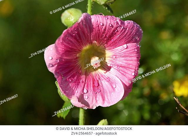 Close-up of a common hollyhock (Alcea rosea) blossom in a garden in summer