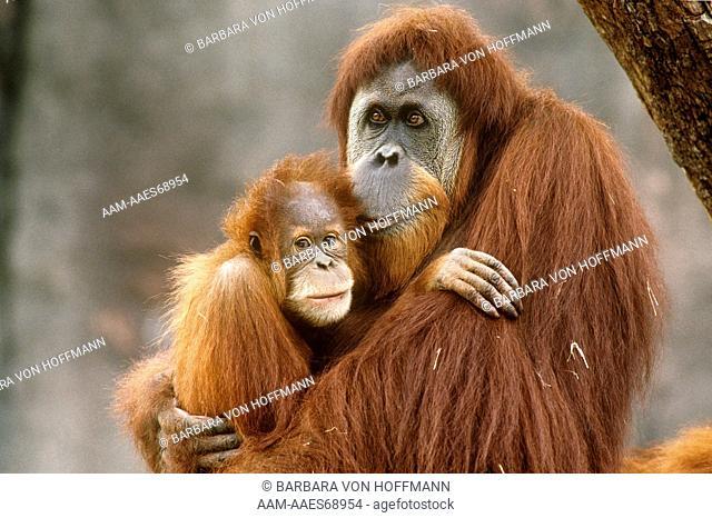 Sumatran Orangutan with Baby (Pongo pygmaeus abelii), IC