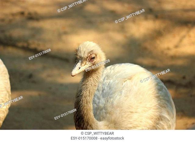 greater rhea bird in thailand zoo