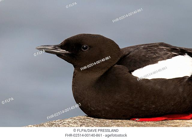 Black Guillemot (Cepphus grylle) adult, breeding plumage, sitting on harbour wall, Oban, Argyll, Scotland, May
