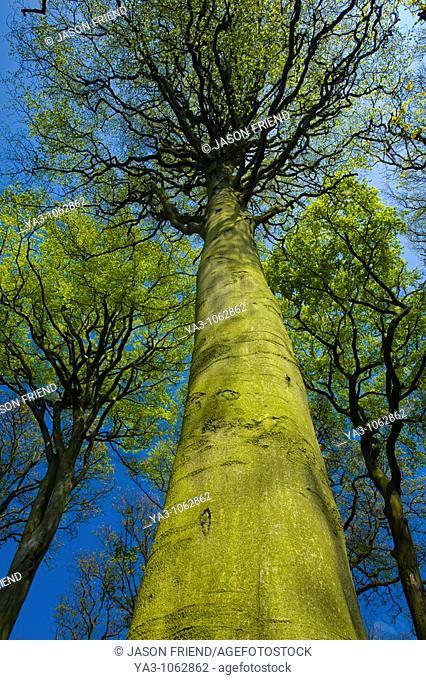 ENGLAND, Tyne & Wear, Holywell Dene  Woodland canopy in Holywell Dene, a popular pocket of forest near the Northumberland / Tyneside border