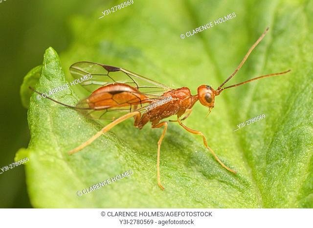 An Aulacid Wasp (Aulacus burquei) perches on a leaf