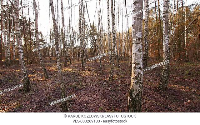 Birch Trees Forest near Lublin, Poland