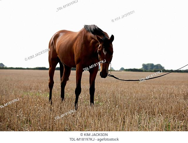 A bright bay Arabian horse standing in a stubble field, with head lowered