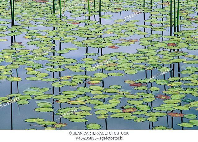 Water-shield (Brasenia schreberi) with Horsetail (Equisetum sp.). Tahkenitch Lake. Oregon. USA