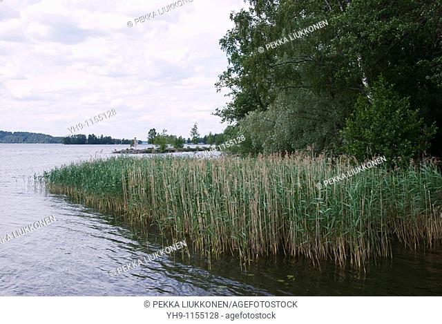 Reed at lakeshore, Vesijärvi, Lahti, Finland