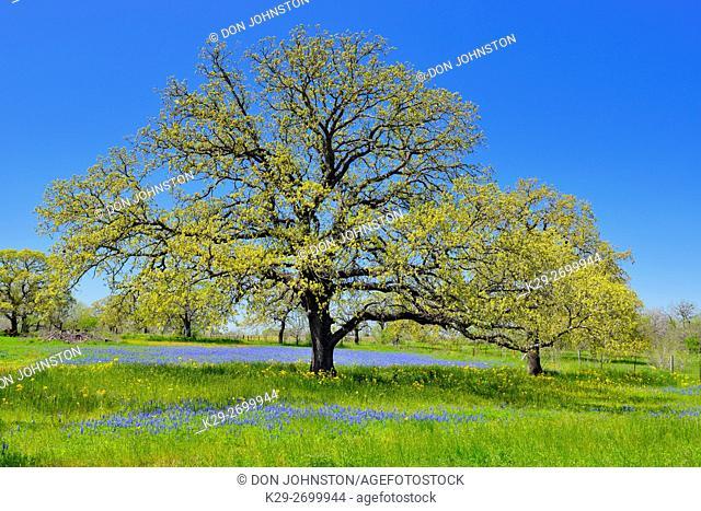 Roadside wildflowers featuring oak tree and bluebonnets, Seguin, Texas, USA