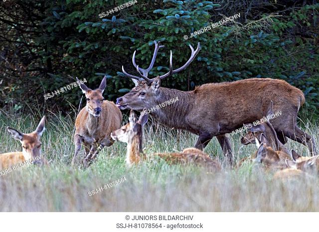 Red Deer (Cervus elaphus). Dominant stag tests if a hind is ready to mate. Denmark