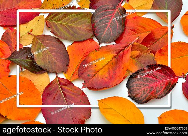 Flat lay with bright multicolored autumn chokeberry leaves and white rectangular empty frame, top view. Life cycle of fall leaf