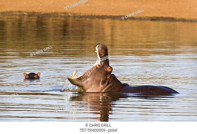 Hippopotamus yawning in water