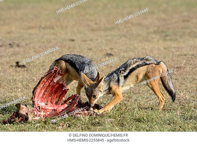 Kenya, Masai Mara Reserve, chabraque Jackal (Canis mesomelas) feeding on the remains of a mammal killed by a lion