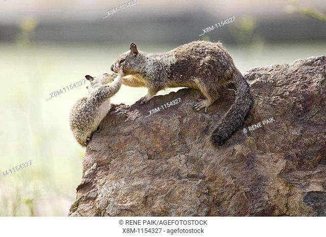 California Ground Squirrel (Spermophilus beecheyi) babies play fight atop a rock at Alameda's Crown Beach, part of the East Bay Regional Parks District