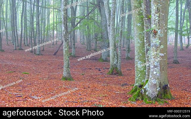Hiker in a beechwood. Urbasa-Andia Natural Park. Navarre, Spain, Europe. 4K