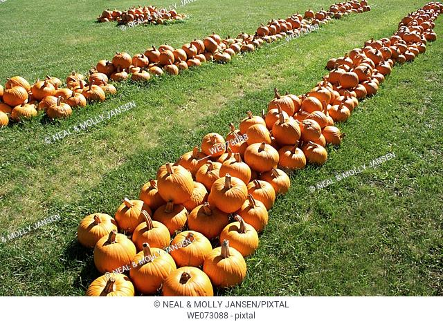 Rows of Pumpkins in a field in Indiana, USA