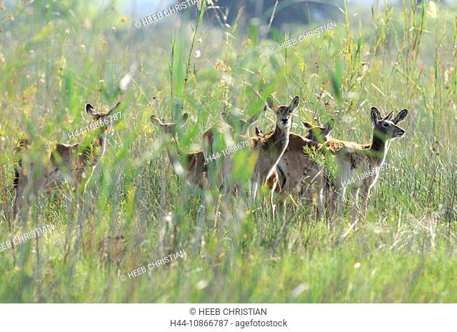 Red Lechwe, Kobus leche, Kwando River, Susuwe Island Lodge, Bwabwata, National Park, Caprivi Region, Namibia, Africa, Travel, Nature
