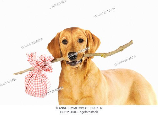 Labrador Retriever, bitch, yellow coloured, holding a stick with a checkered sack