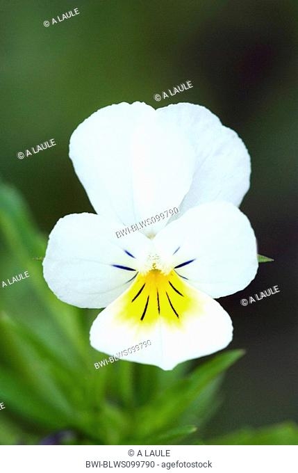 cultivated pansy, field pansy, small wild pansy Viola arvensis, blossom, Germany, Black Forest