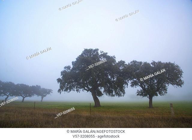 Holm oaks in the mist. Alcudia valley, Ciudad Real province, Castilla La Mancha, Spain