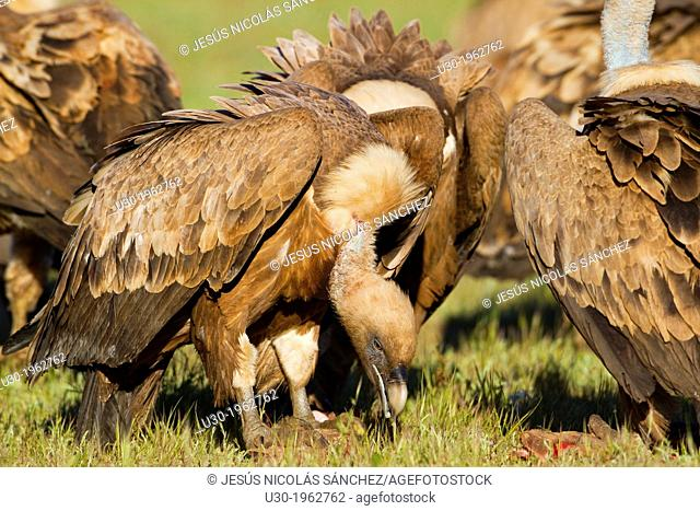 Group of griffon vultures (Gyps fulvus) perched on the ground and eating in Arribes del Duero Natural Park. Salamanca. Castilla y Leon. Spain
