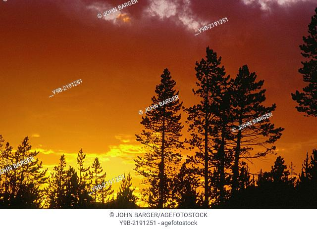 Sunset colored stormy sky and lodgepole pine silhouettes, Norris area, Yellowstone National Park, Wyoming, USA