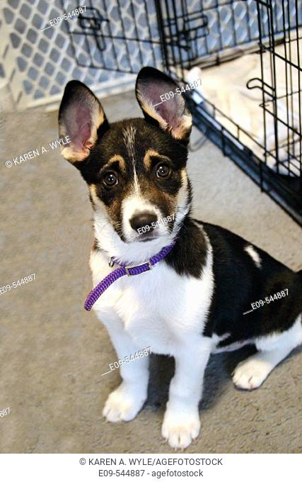 Puppy less than 3 months old, mixed breed possibly including Corgi, big ears standing up, purple fabric collar too big for it