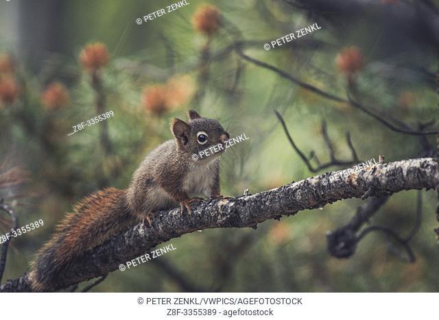 A little squirrel baby (Tamiasciurus hudsonicus) discovers the trees. Yukon Territory, Canada