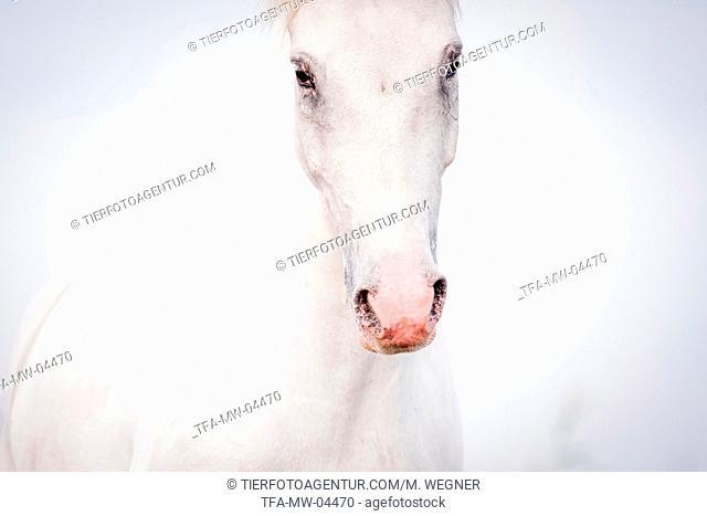 warmblood portrait