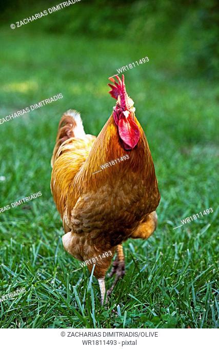 Red rooster walking in field