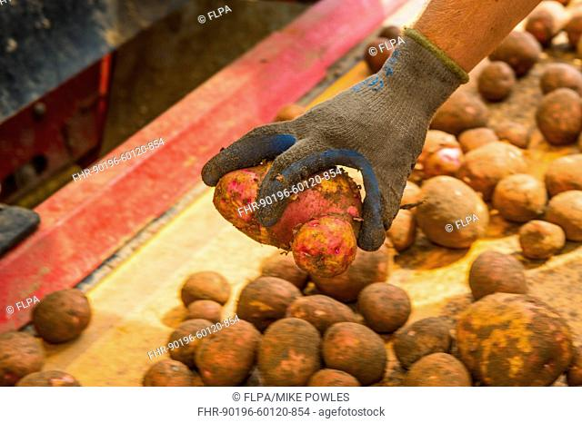 Potato (Solanum tuberosum) crop, harvested tubers used for potato crisps, being sorted by hand in temporary mobile shelter, Norfolk, England, July
