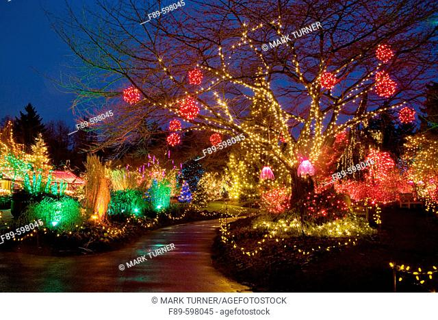 Holiday lights in cherry tree & along path (Prunus sp.). VanDusen, Vancouver, BC