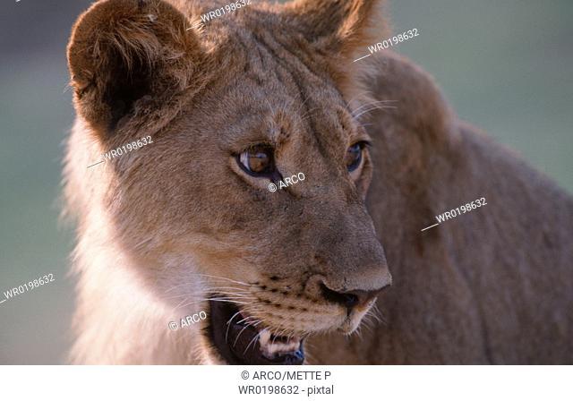 Lioness, Chobe, national, park, Botswana,Panthera, leo